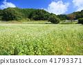 Buckwheat flowers 41793371