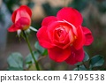 장미, 장미꽃, 로즈 41795538