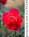 장미, 장미꽃, 로즈 41795540