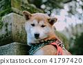 Brown Shiba inu 41797420