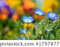 네모필라, 꽃, 플라워 41797877