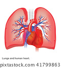 Lungs and human heart illustration anatomy. 41799863
