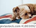 放松在沙发/ Chiapa Poo的狗 41803092