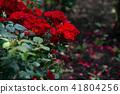 玫瑰花 玫瑰 植物園 41804256