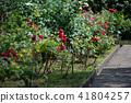 玫瑰花 玫瑰 植物園 41804257