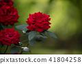 rose, roses, botanical garden 41804258