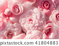 Background of pink camellias. Blooming flowers 41804883