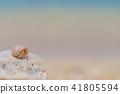 粉红色的寄居蟹 41805594
