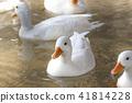 duck, avian, shorebird 41814228