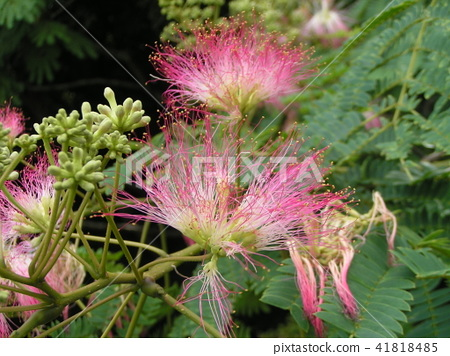 Silk Tree, flower, flowers 41818485