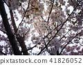 櫻桃樹 41826052