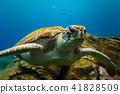 Big turtle portrait in blue ocean water 41828509