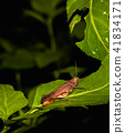 Grasshopper 41834171
