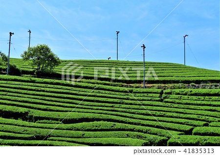 tea plantations, tea plantation, tea field 41835313