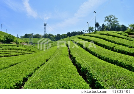 tea plantations, tea plantation, tea field 41835405