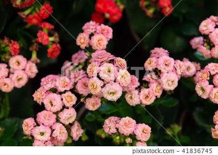 台灣士林官邸植物長花花卉 41836745