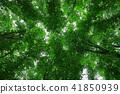 japanese, beech, forest 41850939