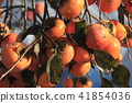 초가을의 감나무 41854036