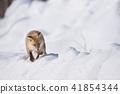눈과 북극 여우 (홋카이도) 41854344