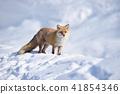 눈과 북극 여우 (홋카이도) 41854346