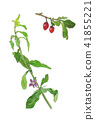 Lycium chinense 구기자 구기 41855221