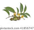 tea seeds ,Flowers, leaves on white background 41856747