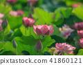 연꽃, 연꽃, 연꽃 41860121