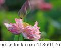 莲花 花朵 花卉 41860126
