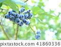 藍莓 漿果 莓 41860336