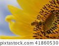 ฤดูร้อนภาพดอกทานตะวันดอกทานตะวัน 41860530