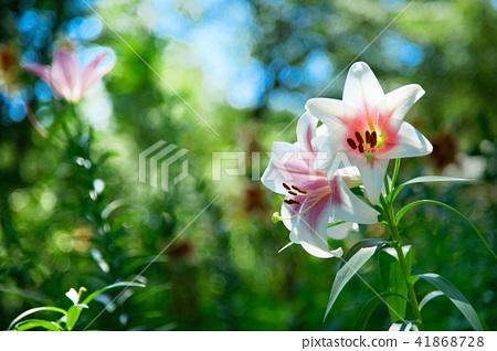 Azawa No Yuri Garden Pale Pink Lily Flowers Stock Photo