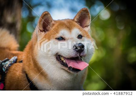 动物 宠物 狗 41887912