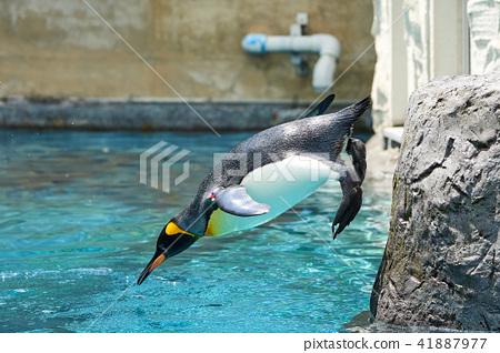 王企鵝跳進游泳池 41887977