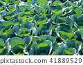 甘藍 包菜 椰菜 41889529
