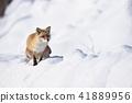 눈과 북극 여우 (홋카이도) 41889956