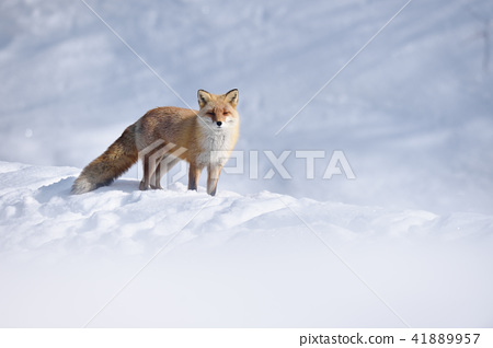 여우, 북방여우, 겨울 41889957