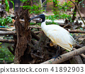Asian openbill or Asian openbill stork bird 41892903