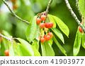 櫻桃在樹上 41903977