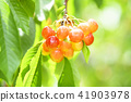 櫻桃在樹上 41903978