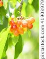 櫻桃在樹上 41903979