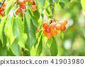 櫻桃在樹上 41903980