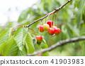 櫻桃在樹上 41903983