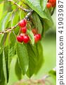 櫻桃在樹上 41903987