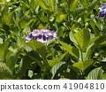 紫色八仙花屬花著色夏天 41904810