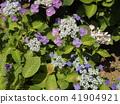 紫色八仙花屬花著色夏天 41904921