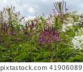 白色有頂飾白花和紫色花叫drunkenfibrous花 41906089