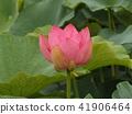 Ogajas桃紅色花在千葉公園的 41906464