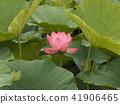 Ogajas桃紅色花在千葉公園的 41906465