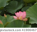 Ogajas桃紅色花在千葉公園的 41906467