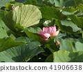 千叶公园的Ogajas是一朵粉红色的花 41906638